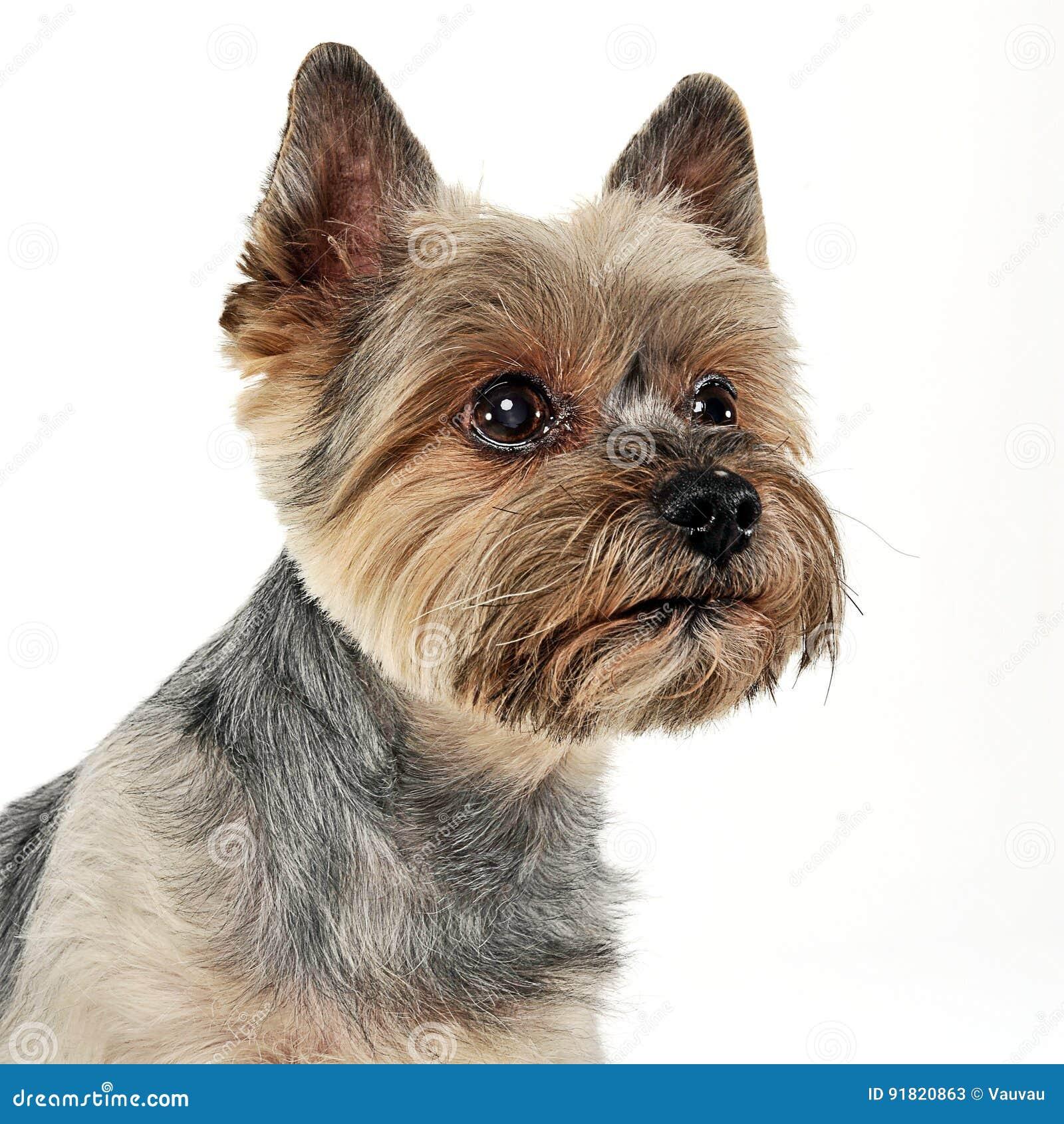 Portrait De Yorkshire Terrier A Un Arriere Plan Blanc Image Stock