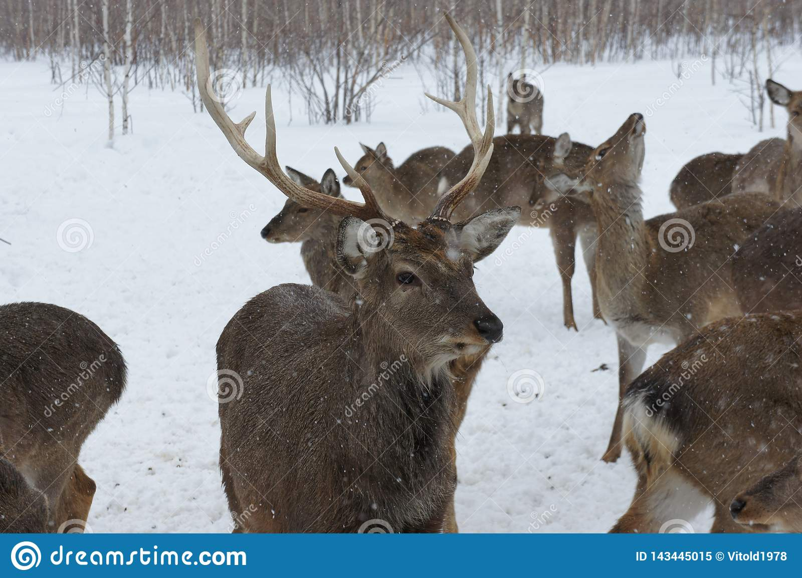 Portrait of a deer with horns in the winter on a livestock farm.
