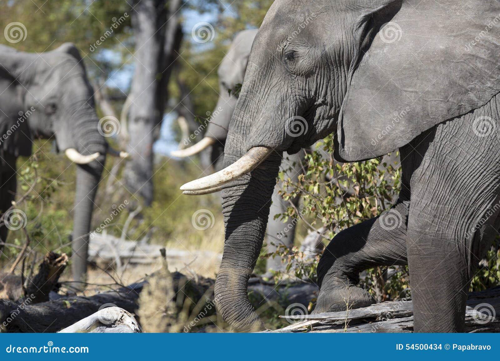Portrait des éléphants gratuits sauvages