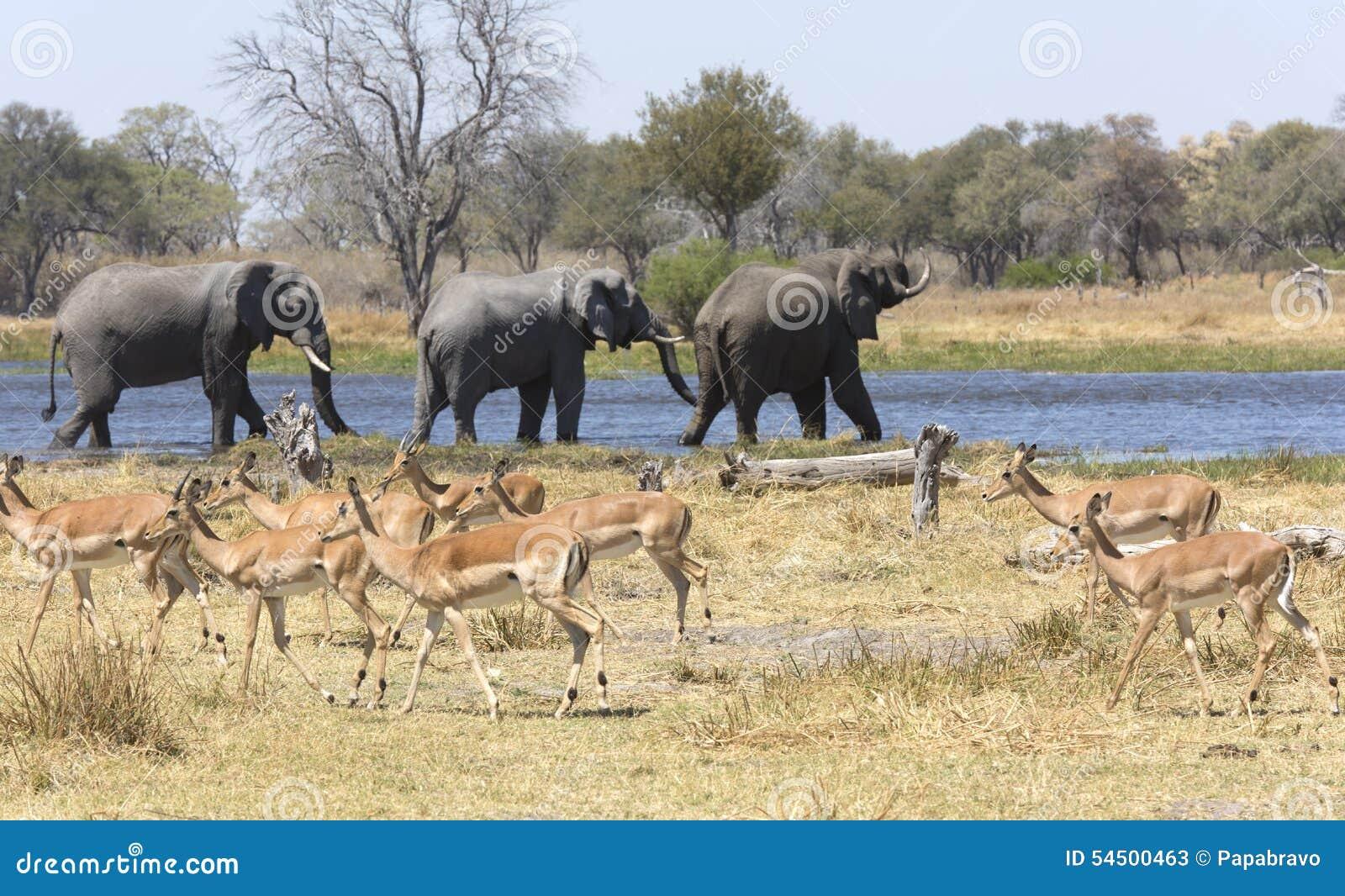 Portrait des éléphants gratuits sauvages en rivière