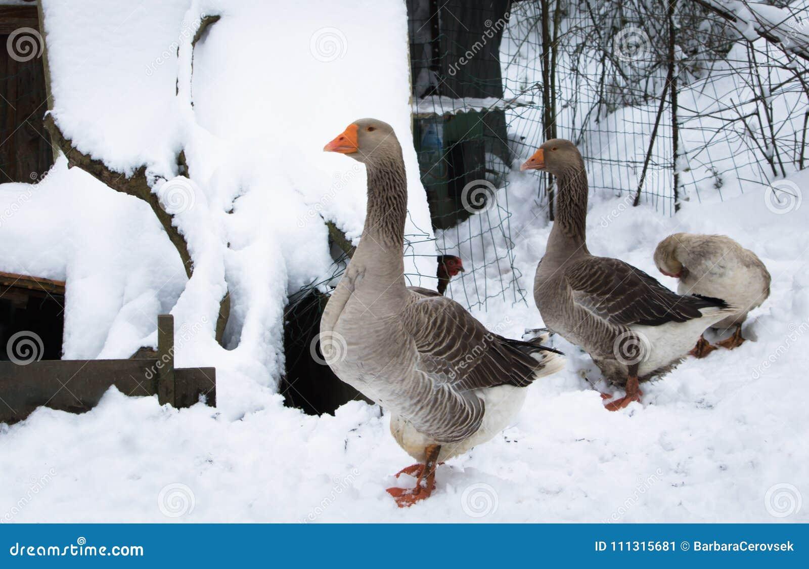 Portrait des oiseaux d animal de ferme non utilisés aux températures froides en hiver neigeux, février 2018, Frances du sud sur l