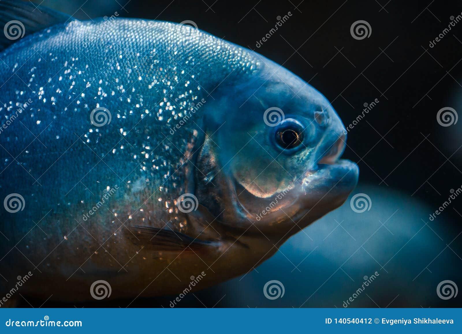 Portrait des poissons prédateurs de piranha dans l aquarium de zoo