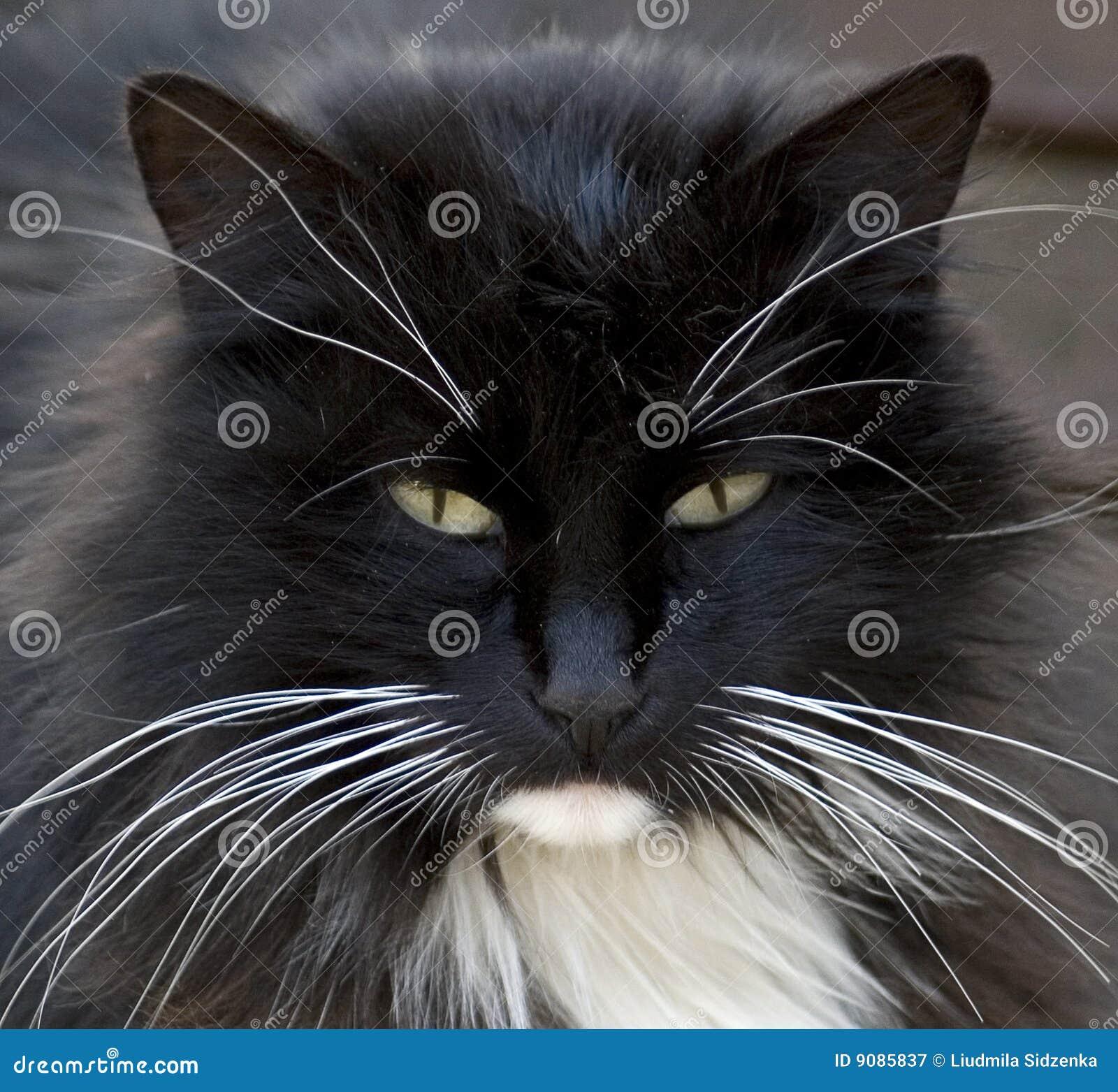 Portrait des schwarzen Kätzchens