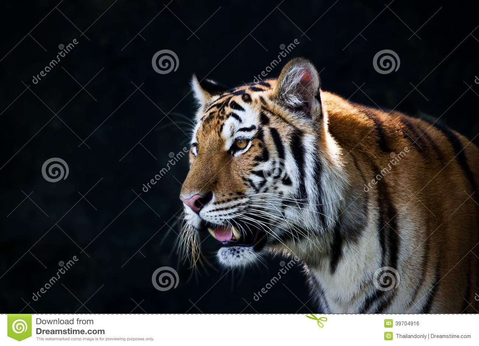 Portrait des tigres d 39 amur photo stock image du avant - Images tigres gratuites ...