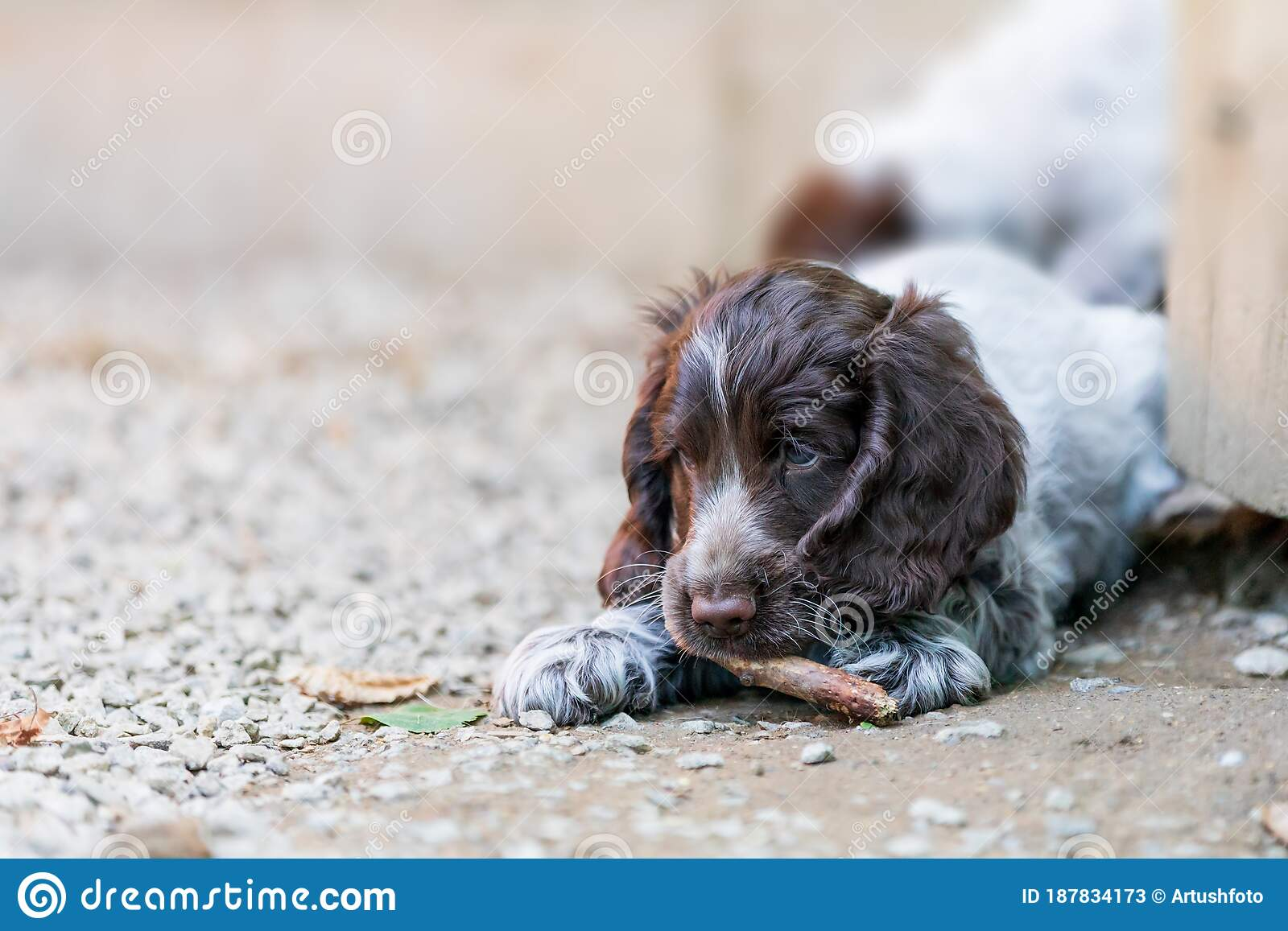 Portrait Of Dog English Cocker Spaniel Puppy Stock Image Image Of Spaniel Breed 187834173