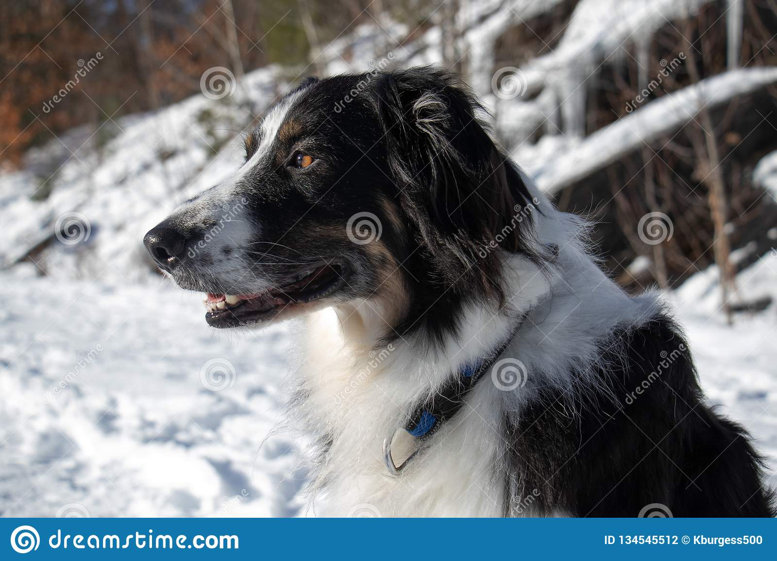 Portrait Of A Dog In Snow Stock Photo Image Of Cute 134545512