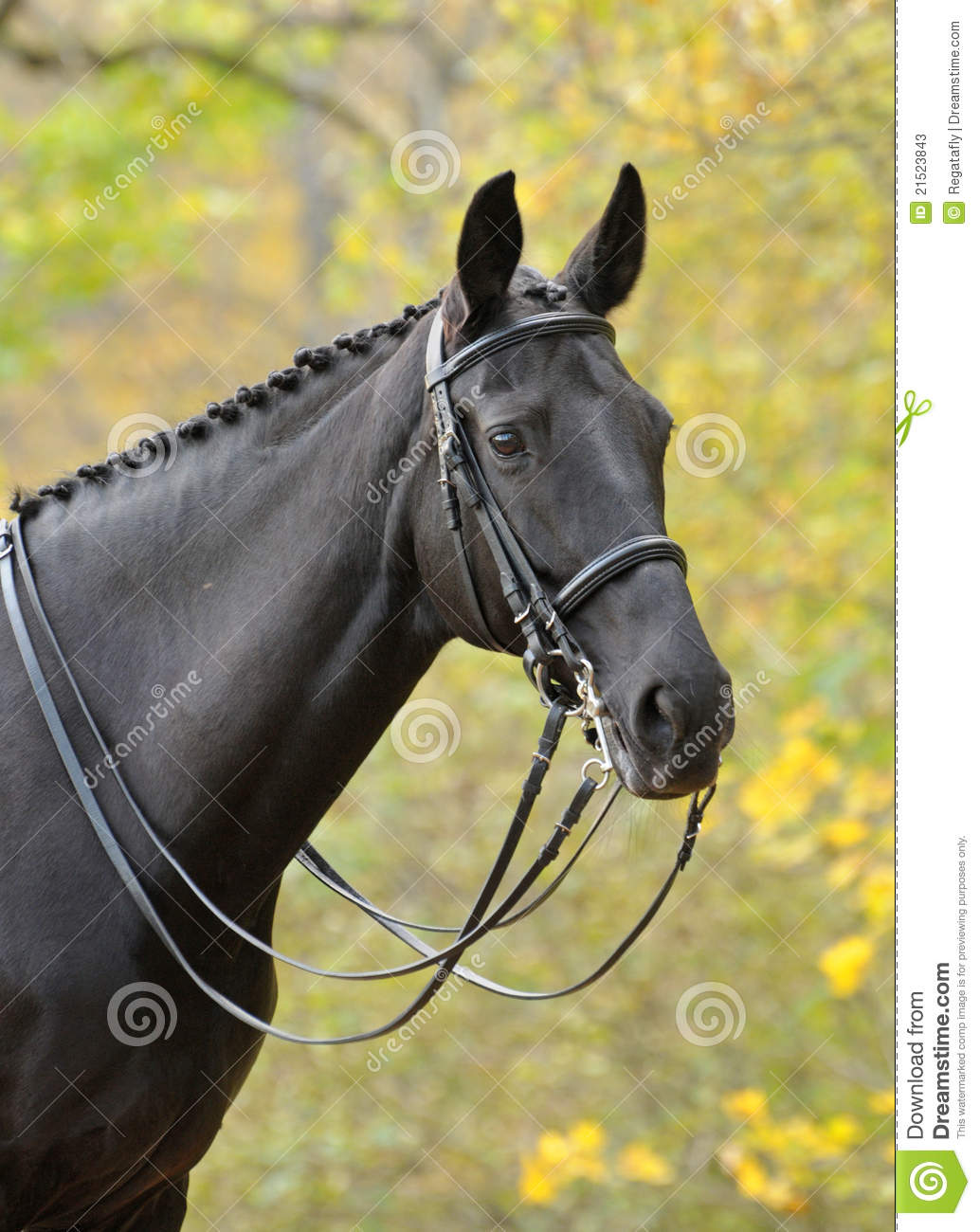 Portrait Of Dressage Black Horse Stock Image Image Of Sport Equine 21523843
