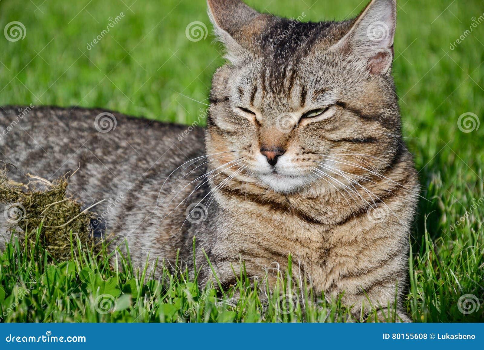 Portrait du chat tigré aux cheveux courts domestique se situant dans l herbe Tomcat détendant dans le jardin