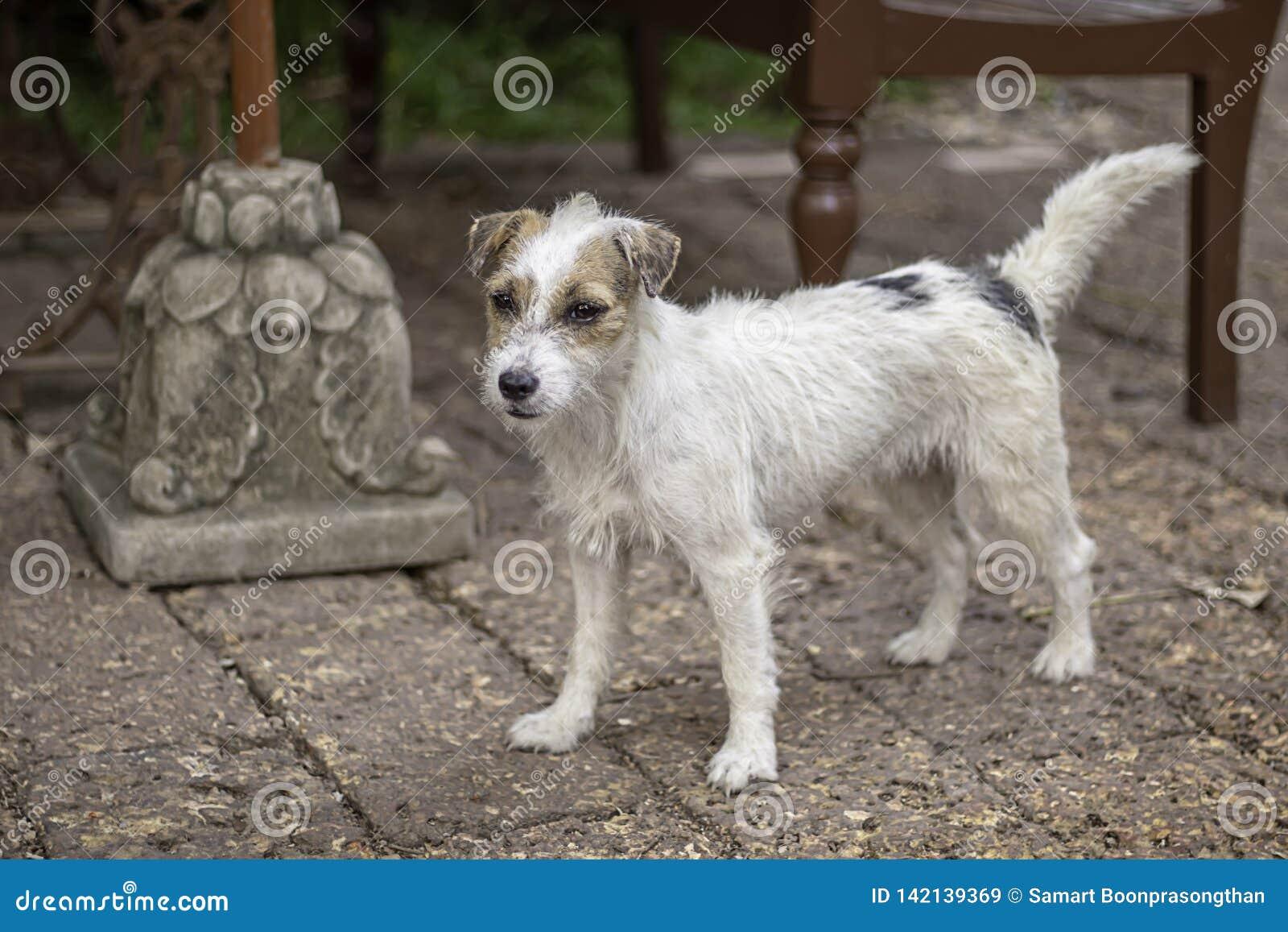 Portrait du chien blanc sur la brique de brun de plancher