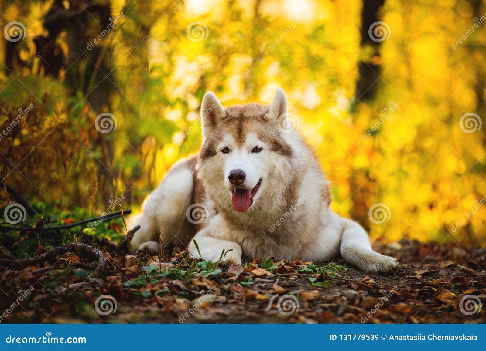 Portrait du chien enroué sibérien beige magnifique et libre se situant dans la forêt lumineuse de chute et regardant à la caméra