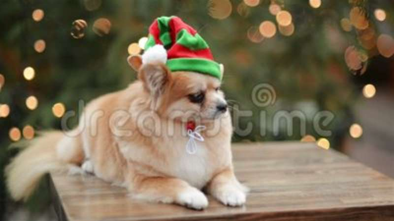 7d9dd045a94 Cute Dog Is Lying In The Christmas Market. Funny Dog With Santa Hat.  Pekingese