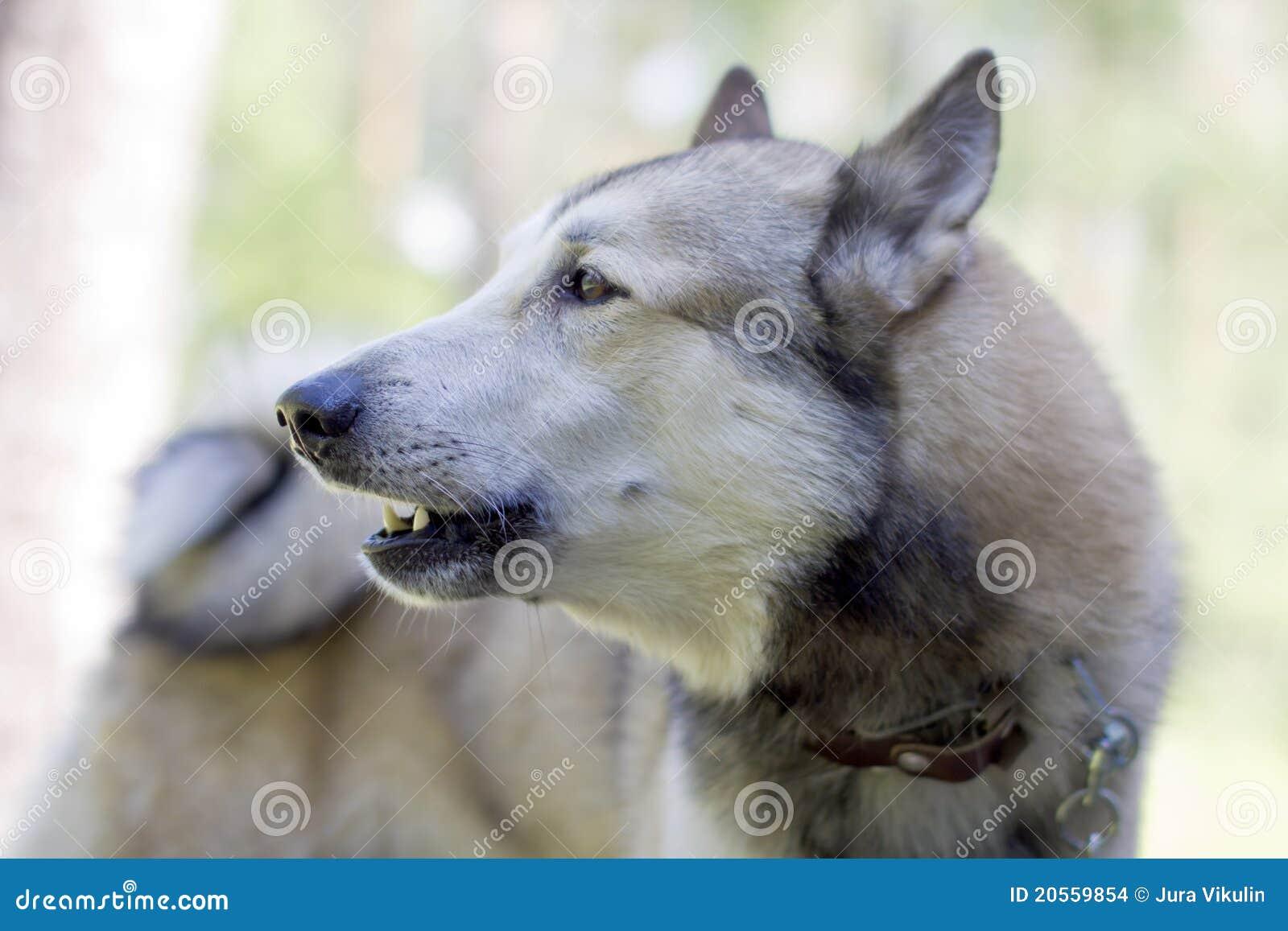 Portrait eines kämpfenden Hundes