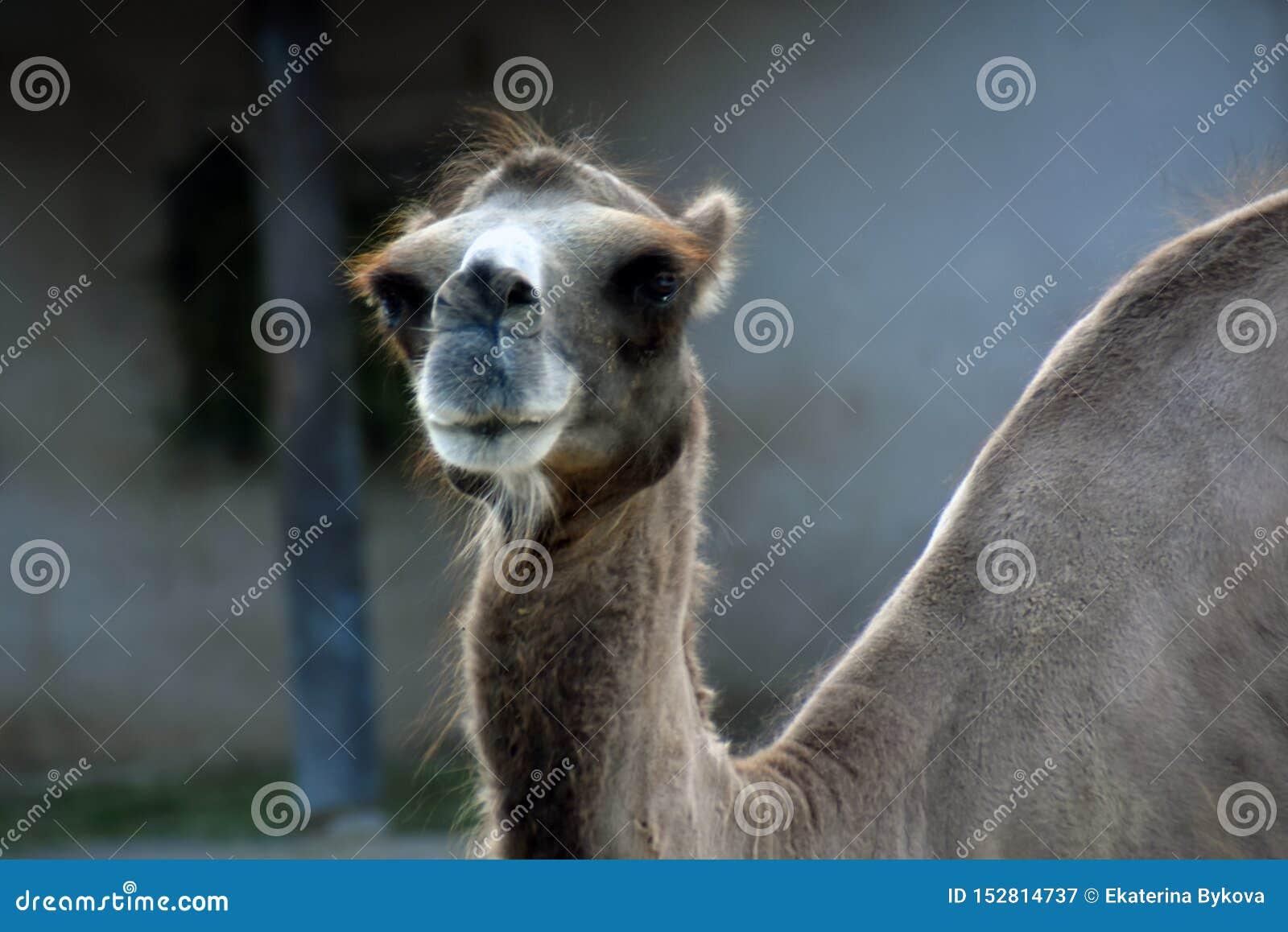 Portrait eines Kamels Farbfoto gemacht an Moskau-Zoo