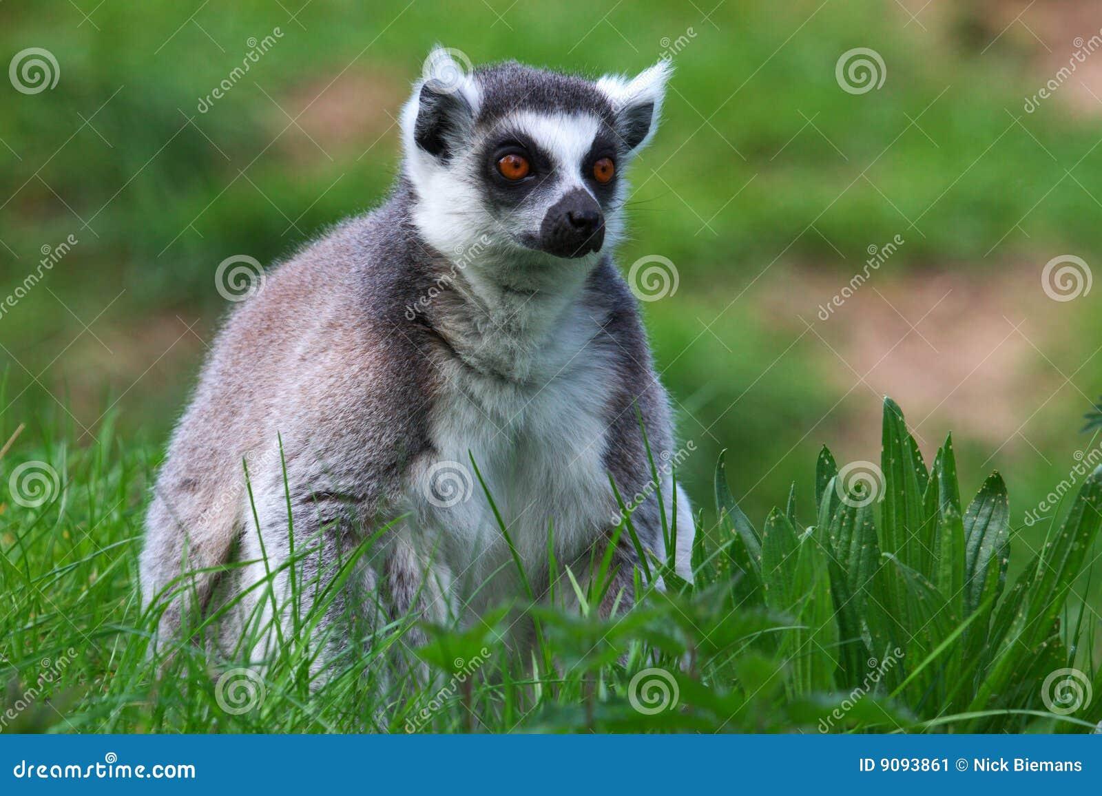 Portrait eines Ring-tailed Lemur