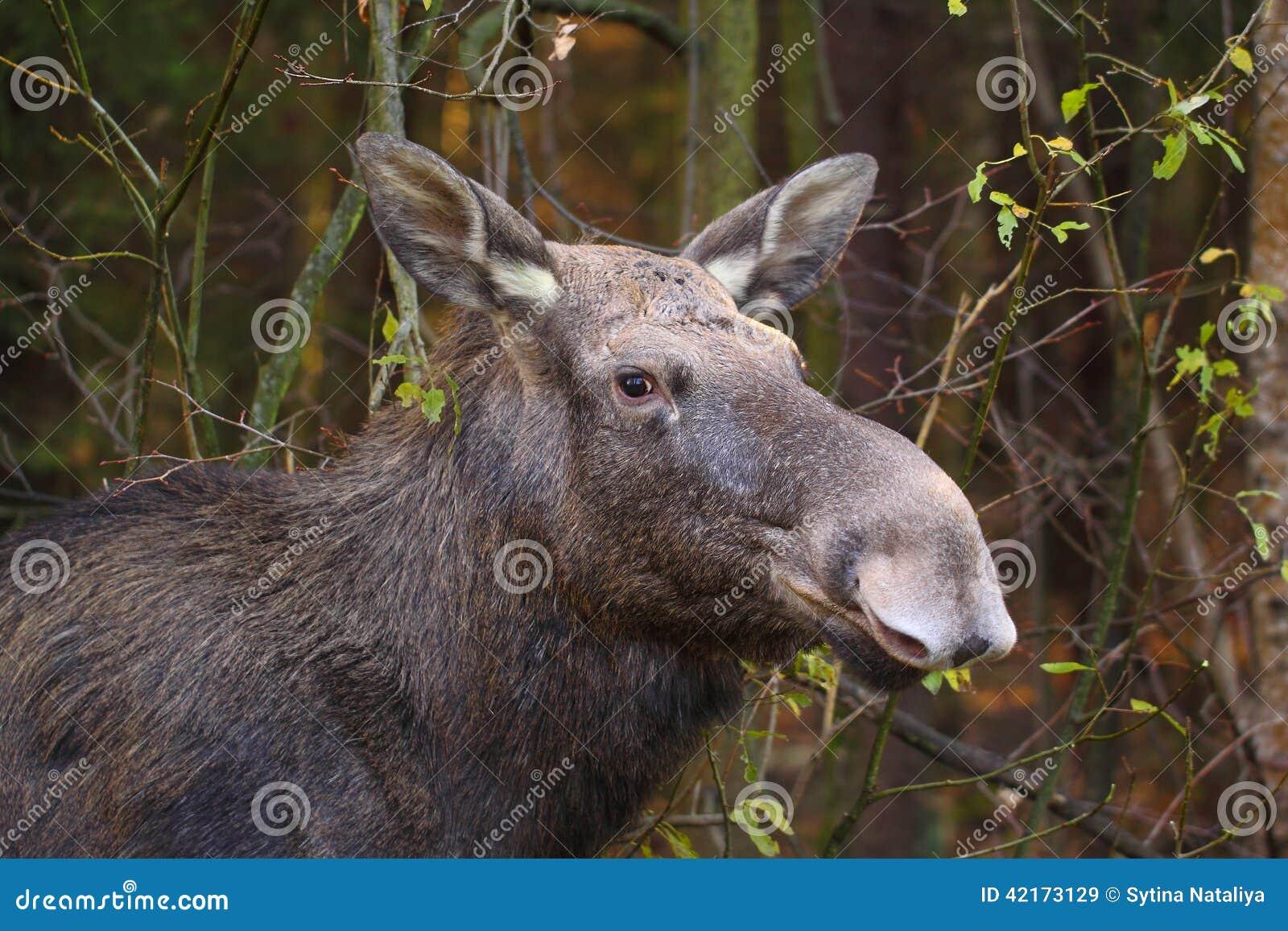 Portrait of elk female