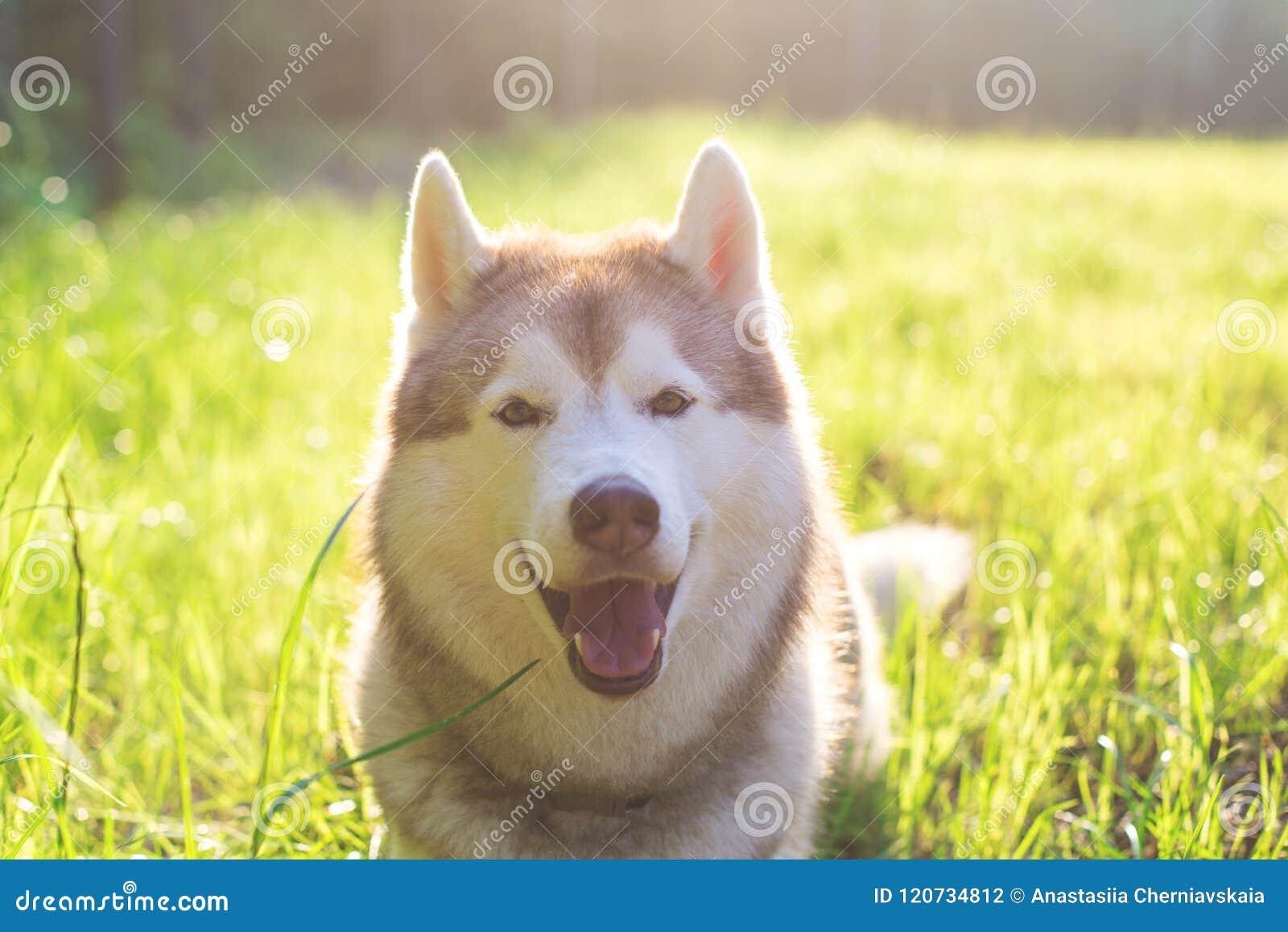 Portrait en gros plan de beau chien beige et blanc mignon de chien de traîneau sibérien avec les yeux bruns se situant dans l her