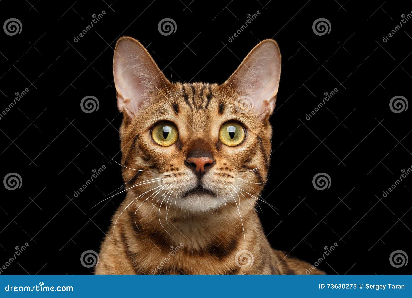 portrait en gros plan de chat curieux du bengale de visage fond noir d 39 isolement image stock. Black Bedroom Furniture Sets. Home Design Ideas