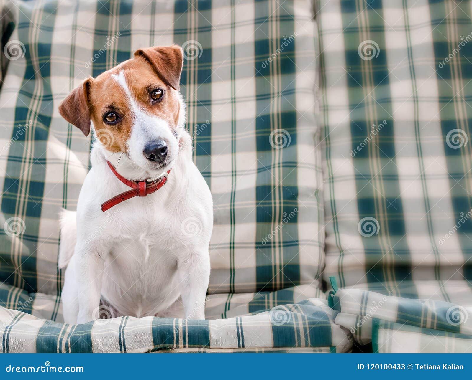 Portrait en gros plan de chien mignon Jack Russell se reposant sur les protections ou le coussin sur le banc de jardin ou le sofa