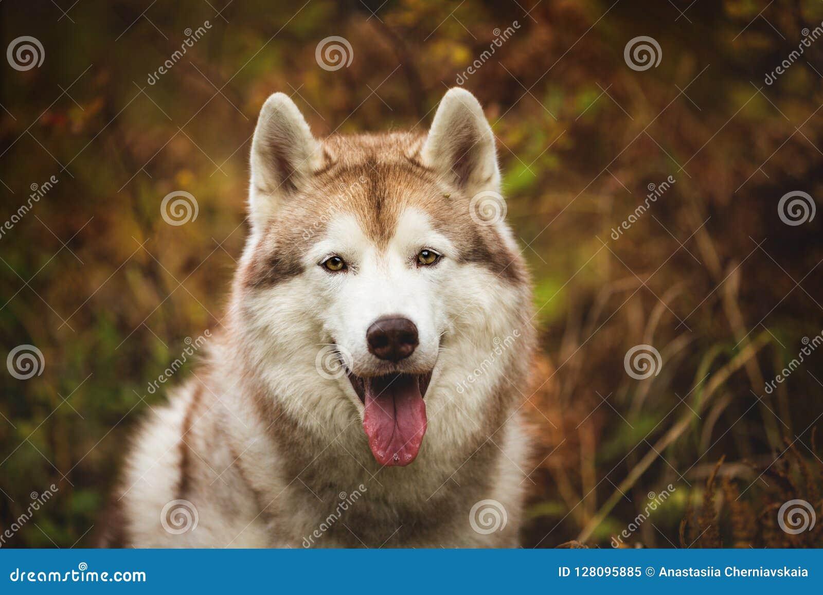 Portrait en gros plan de chien de traîneau sibérien beige magnifique dans l automne sur un fond de forêt Image de chien enroué en