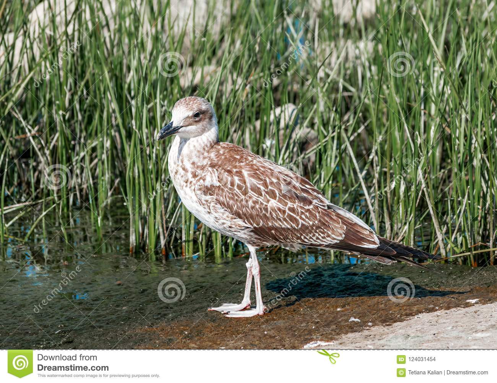 Portrait en gros plan de l oiseau brun gris simple de mouette marchant sur la côte humide de sable dans l herbe verte Beau nature
