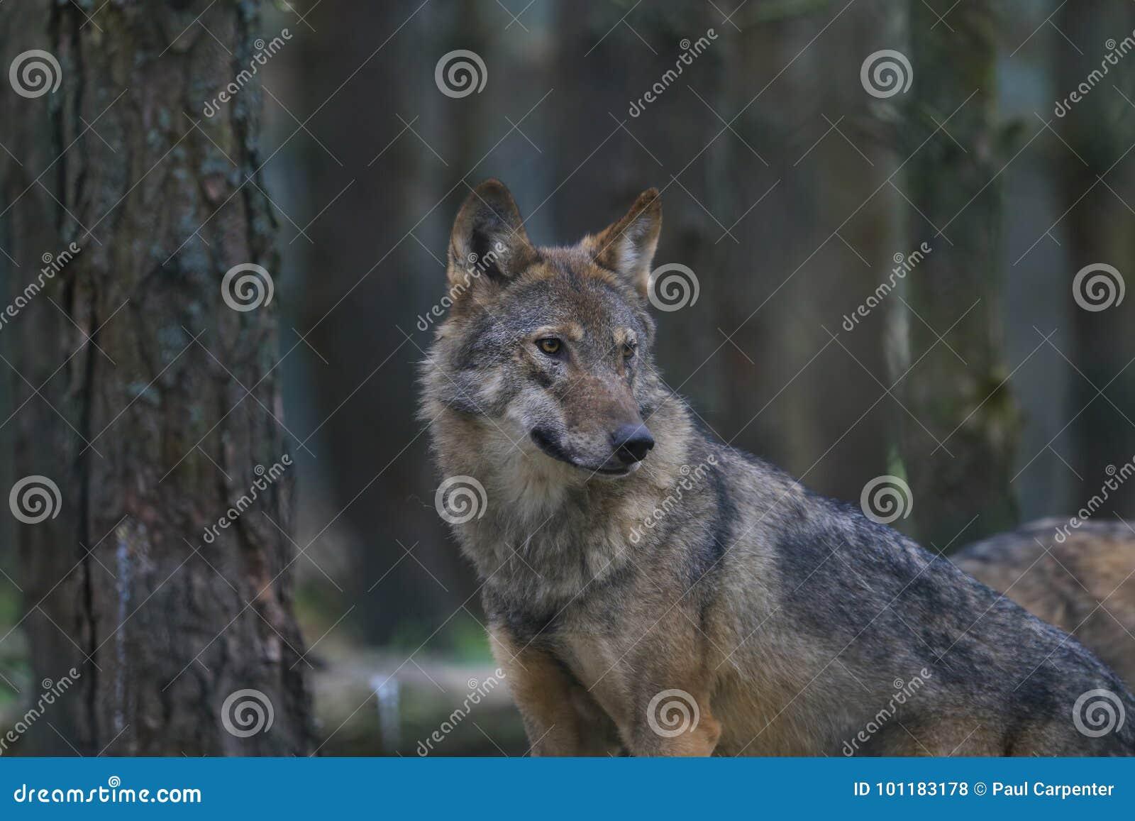 Portrait européen de loup