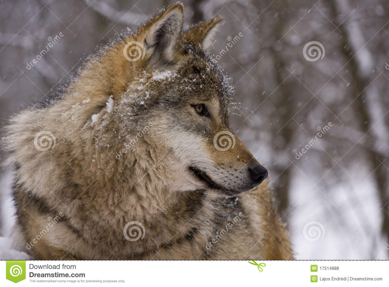 Portrait of an European grey wolf