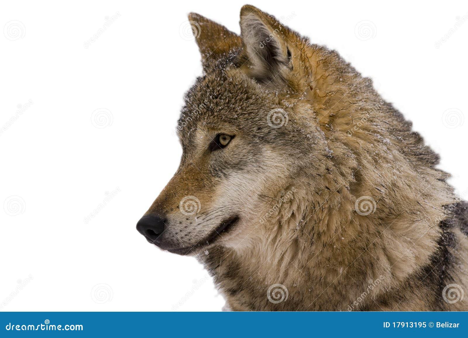 Portrait of an European grey wolf (Canis lupus lu