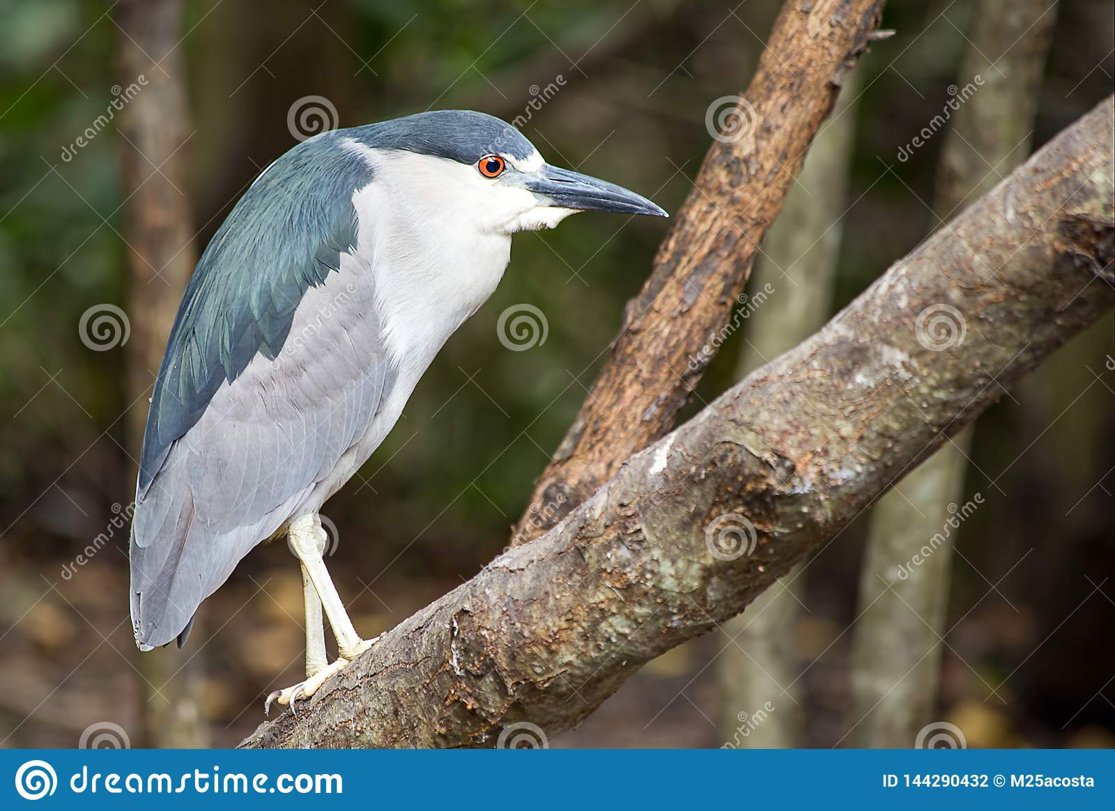 Portrait of an exotic black-crowned night heron