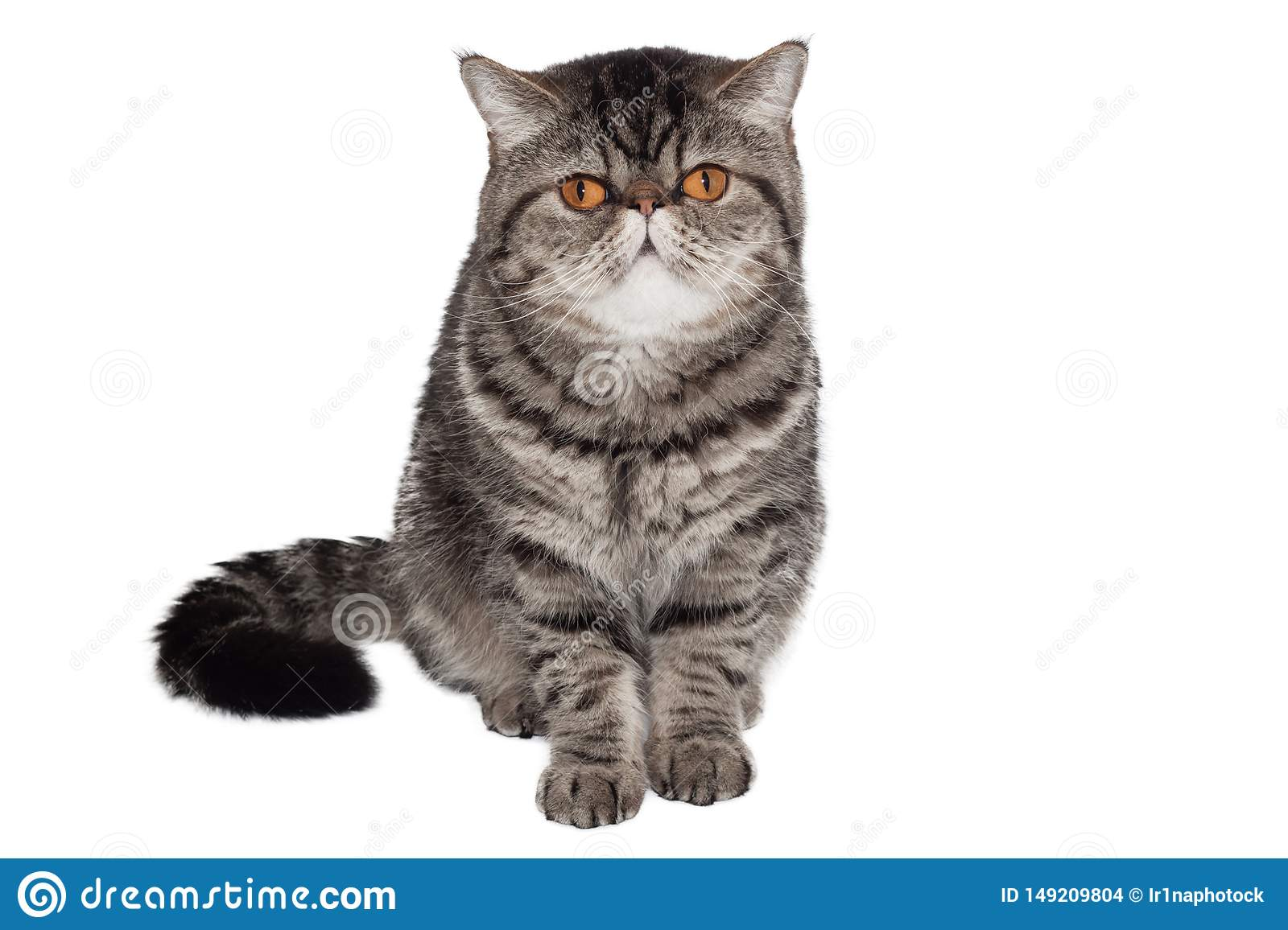 Exotic short-haired cat. Isolated on white. sitting in front of white background