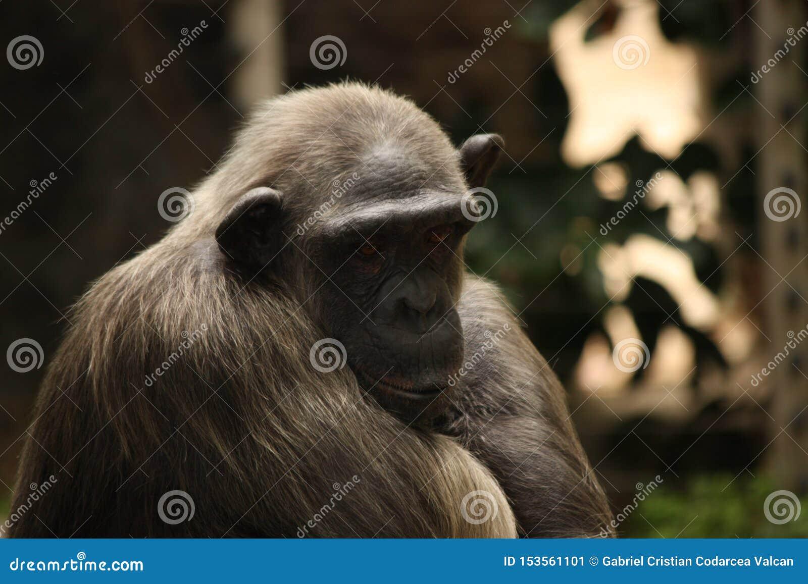 Portrait fatigué et triste de chimpanzé