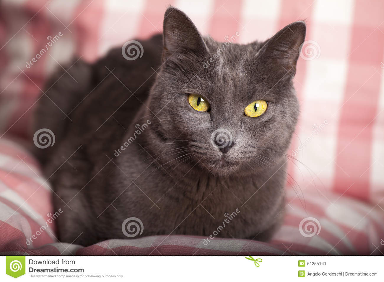 Russian blue cat with yellow eyes