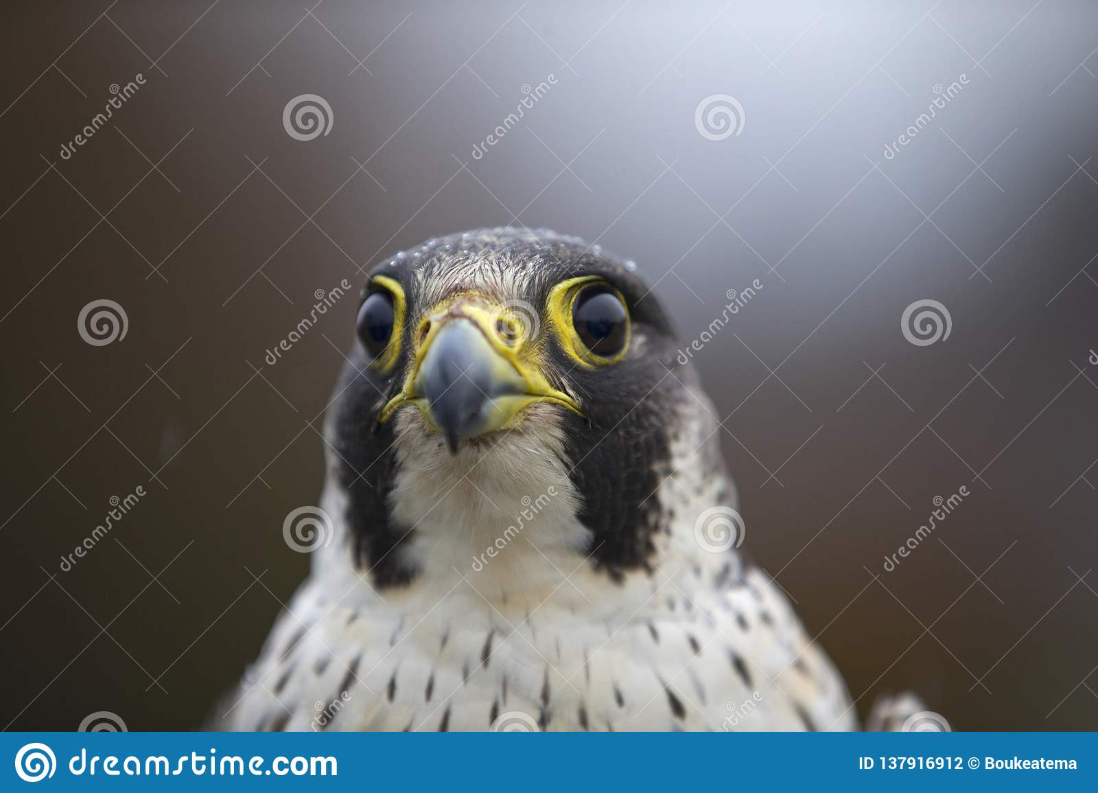 A portrait of a Female Peregrine falcon Falco peregrinus caught in Germany for ringing.