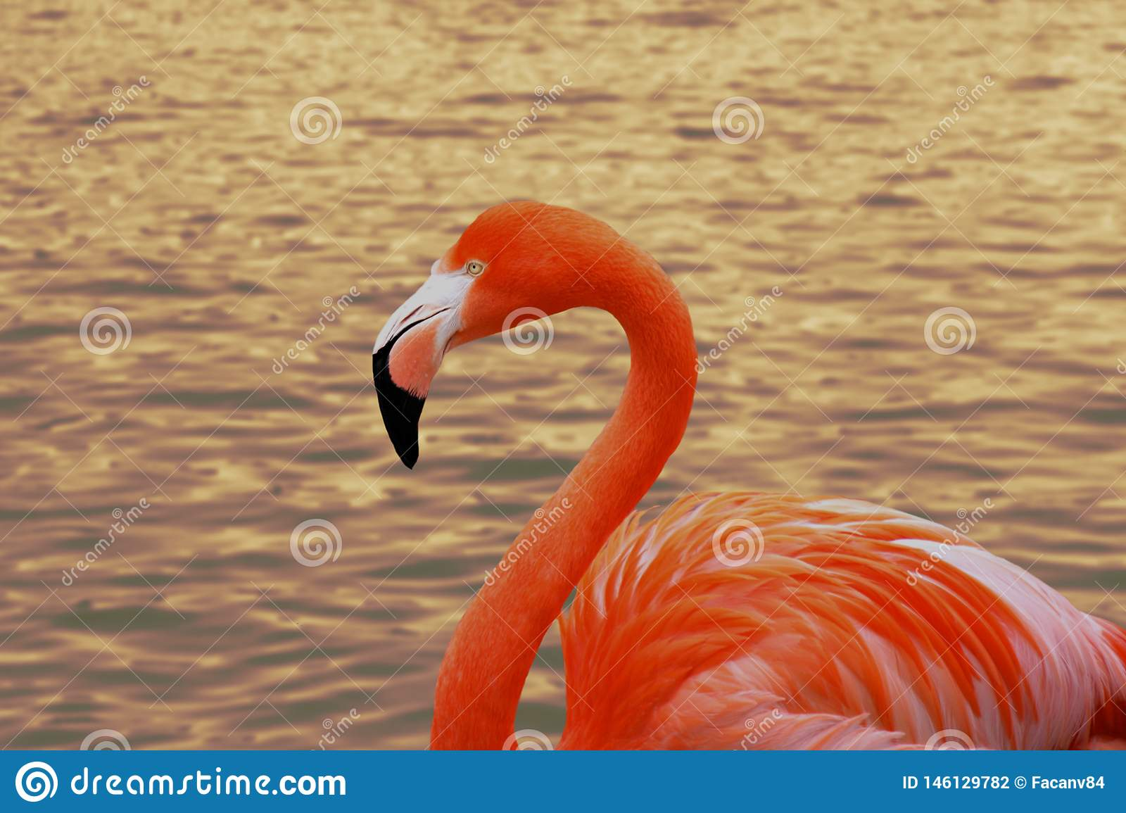 Portrait of the flamingo up close. The bird enjoys swimming on the water. A wonderful reflection of the sunset in the background.