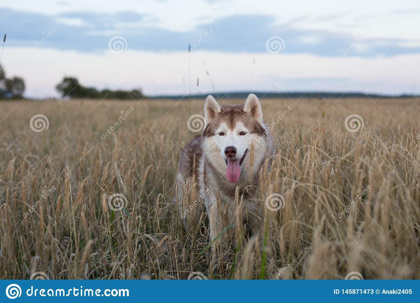 Portrait of free and cute siberian husky dog with brown eyes standing in the rye at sunset
