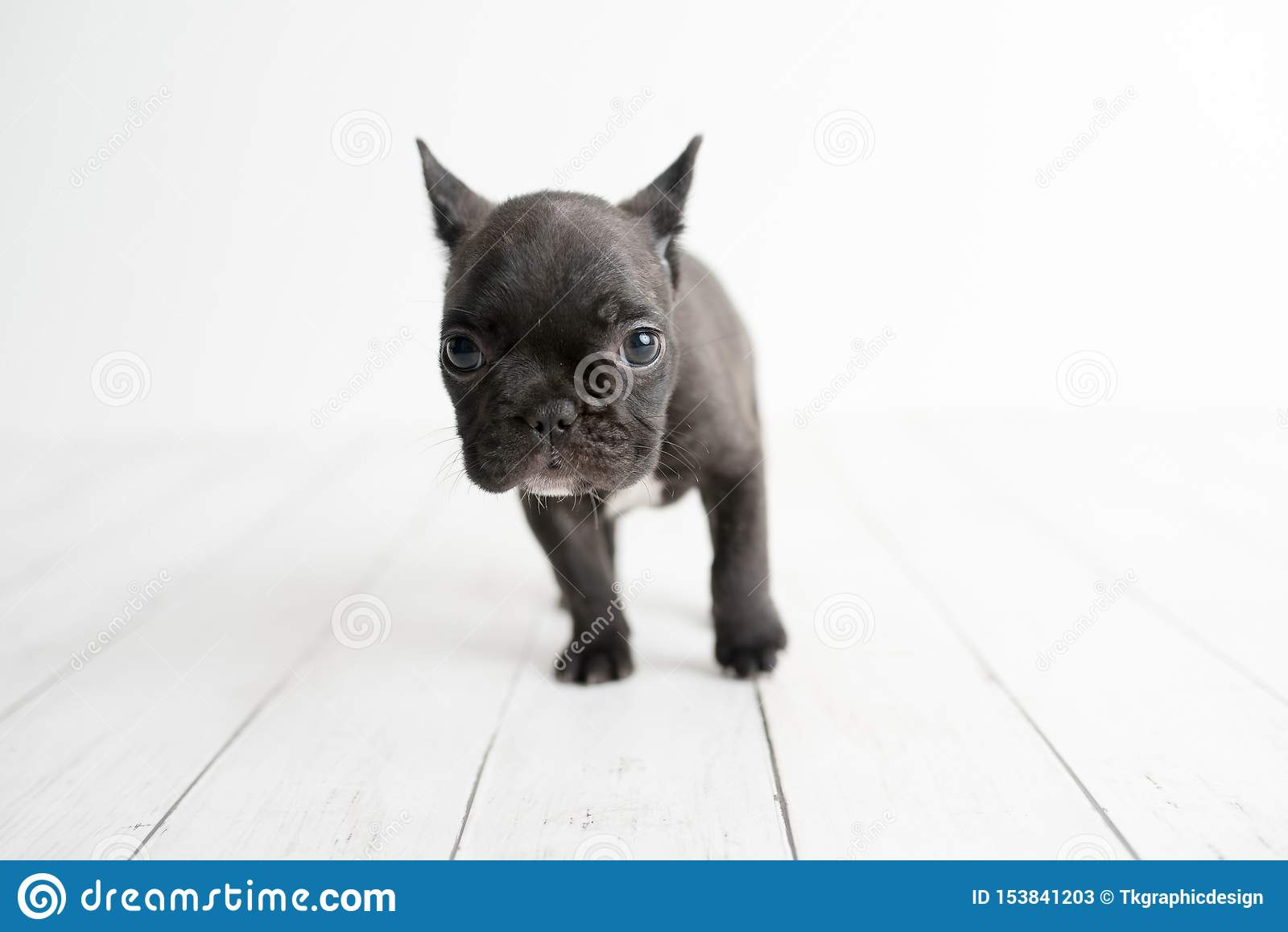 Portrait Of French Bulldog Frenchies Puppy Stock Image Image Of Cute Playful 153841203