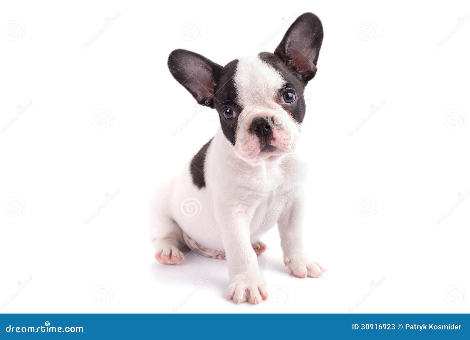 Portrait Of French Bulldog Puppy Stock Photos - Image: 30916923 White Baby French Bulldog