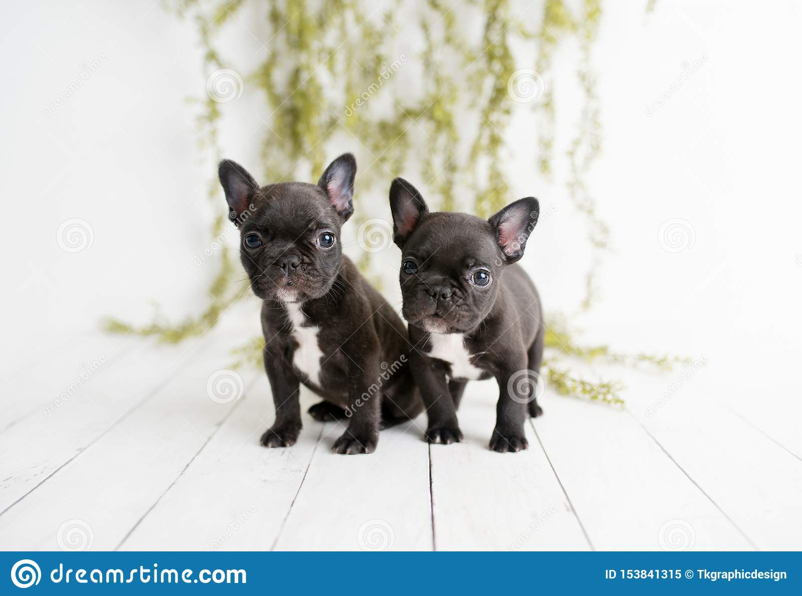 Portrait Of French Bulldogs Frenchies Puppies Stock Image Image Of Playful Lovely 153841315