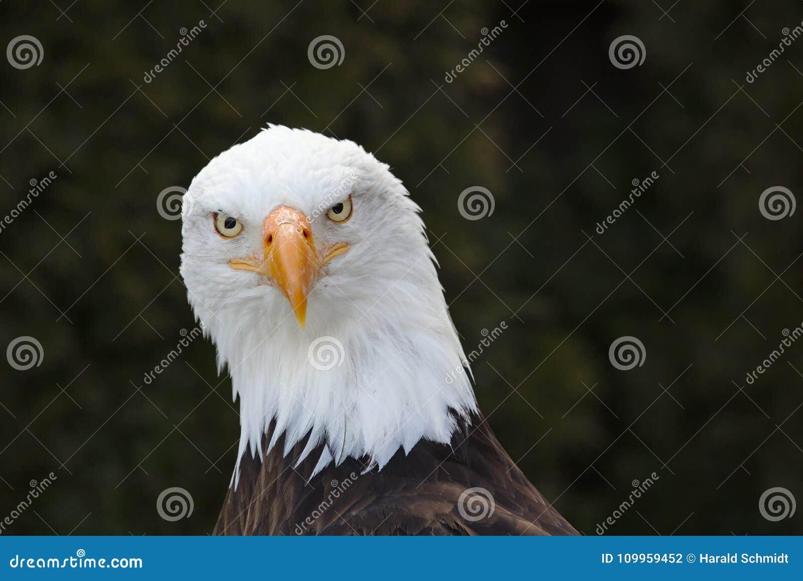 Portrait frontal d un aigle chauve
