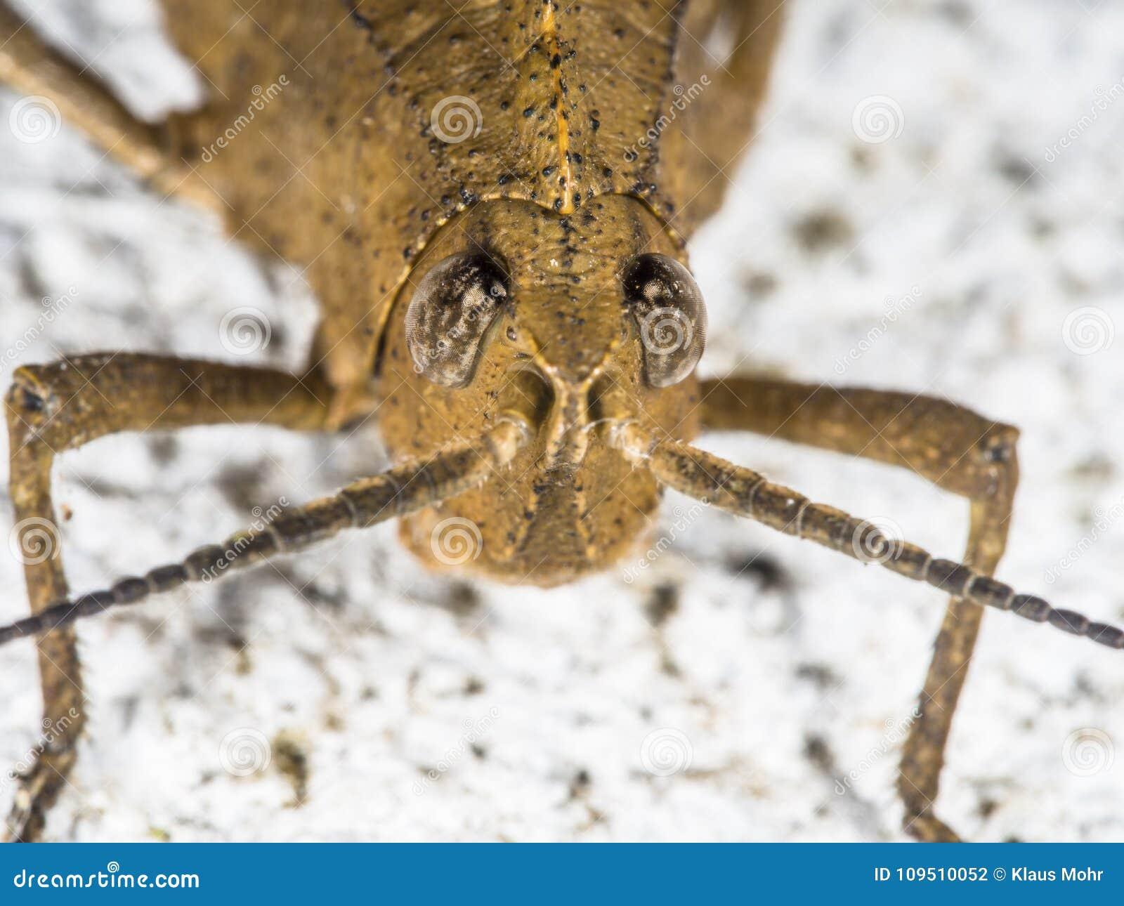 Portrait frontal d une sauterelle brune