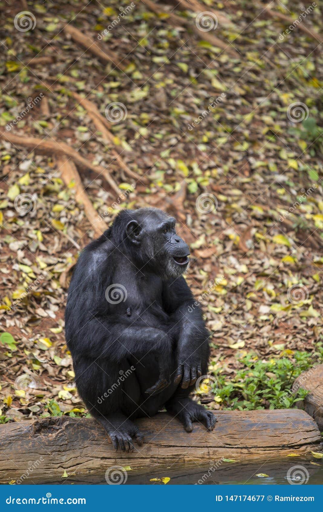 Portrait frontal de chimpanz?