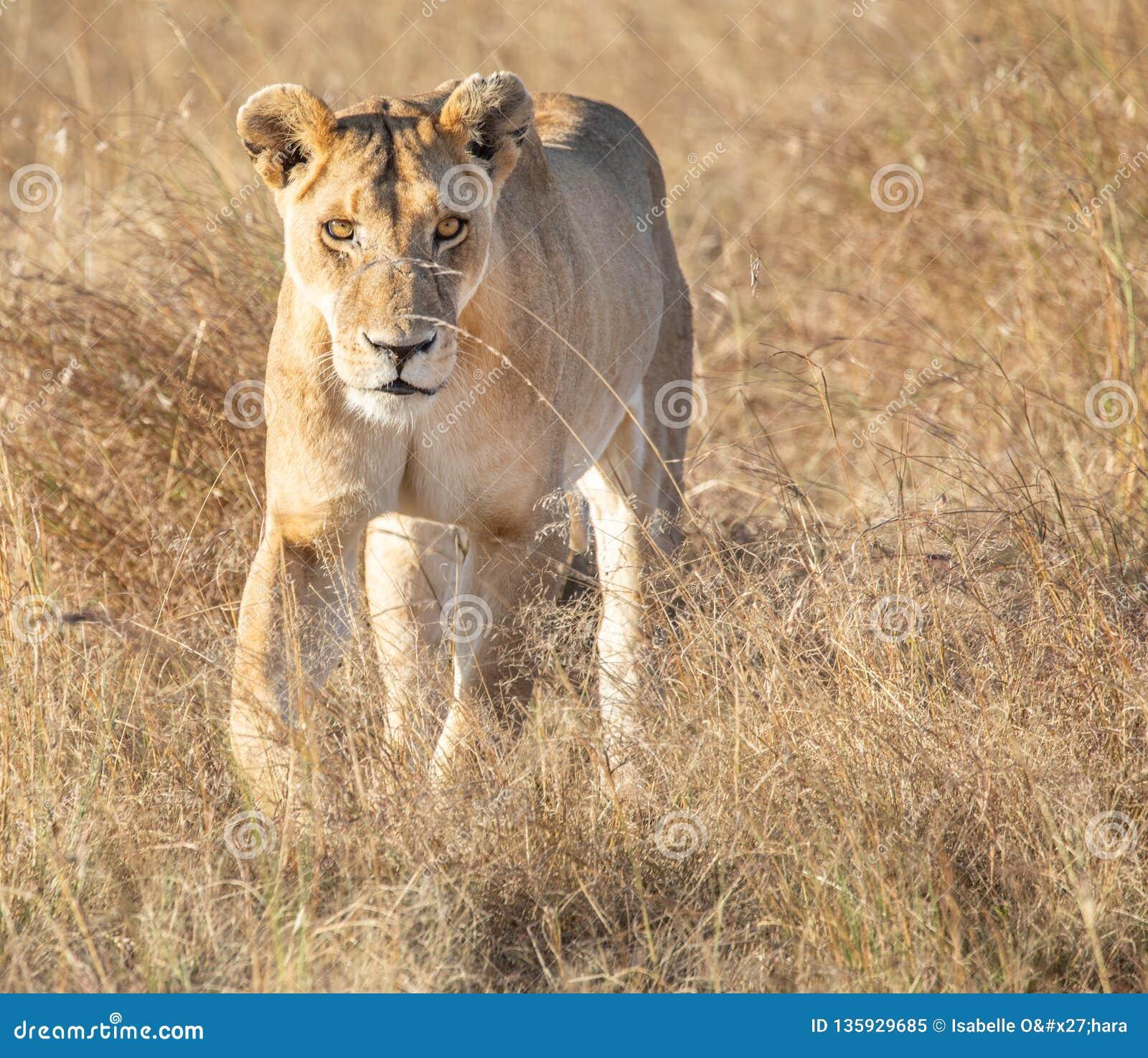 Portrait frontal de lion femelle marchant vers et regardant fixement la visionneuse dans le paysage grand d herbe