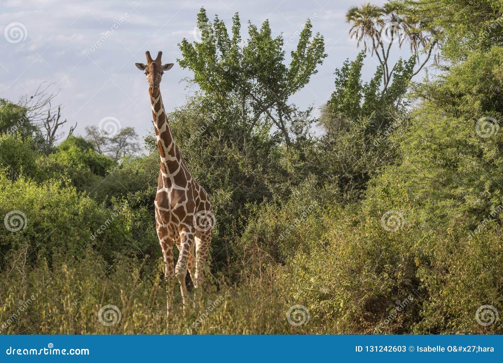 Portrait frontal de plein corps de girafe réticulée, camelopardalis de Giraffa reticulate, dans le paysage du nord du Kenya