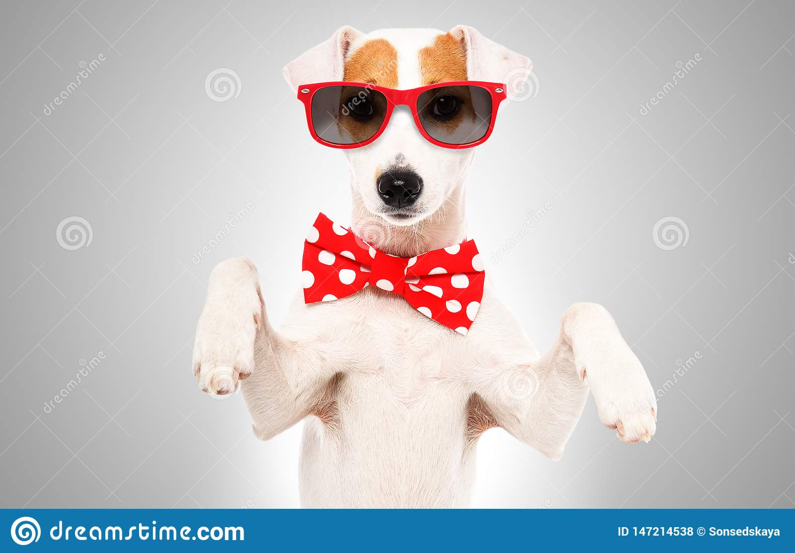 Portrait of funny dog Jack Russell Terrier in a bow tie and sunglasses