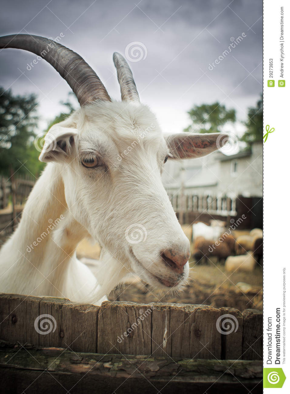 funny looking goat - photo #30