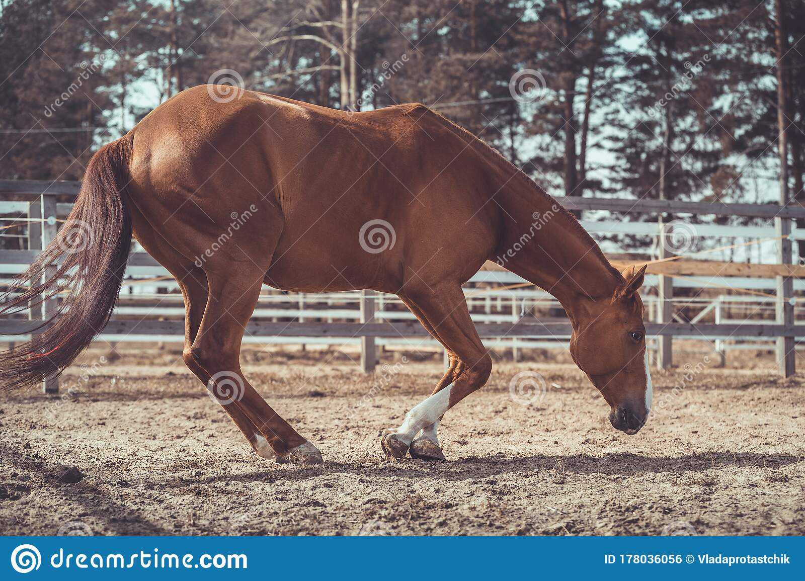 Funny Young Chestnut Budyonny Gelding Horse Going To Lay In Paddock In Warm Spring Daytime Stock Photo Image Of Stable Equine 178036056