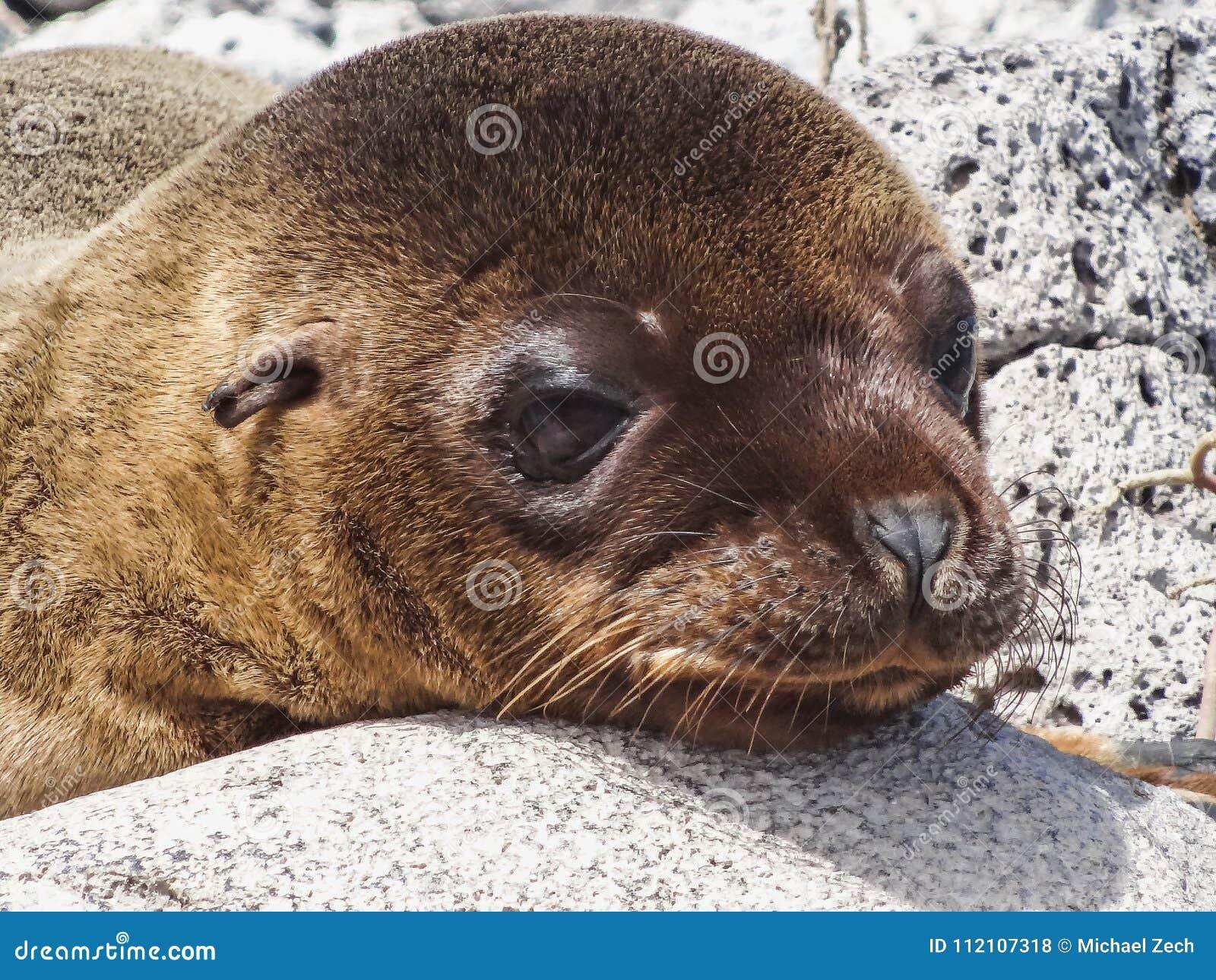 Closeup of a fur seal the galapagos islands ecuador