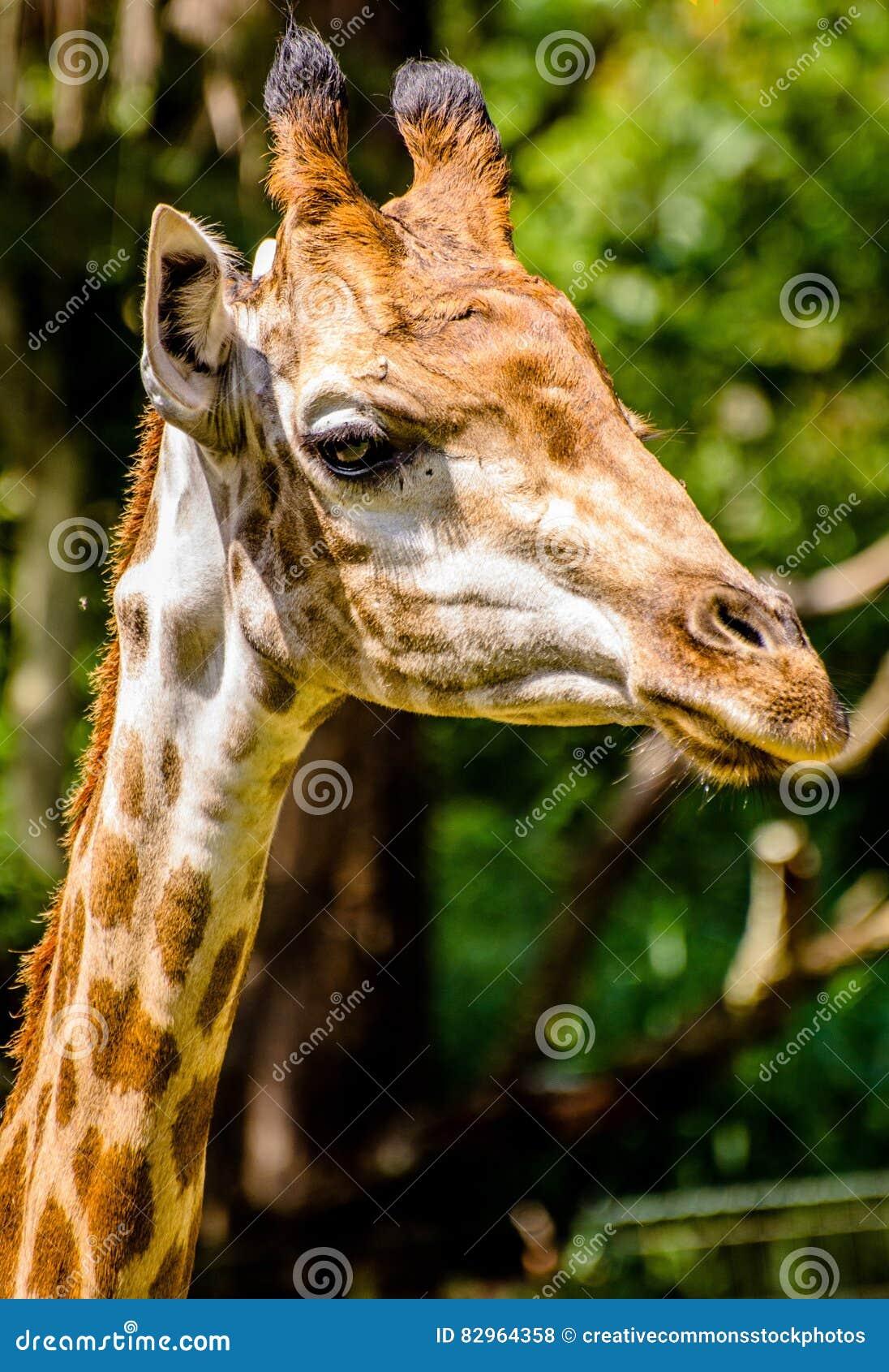 Free Public Domain CC0 Image  Portrait Of Giraffe Picture. Image ... d7aed6e4df