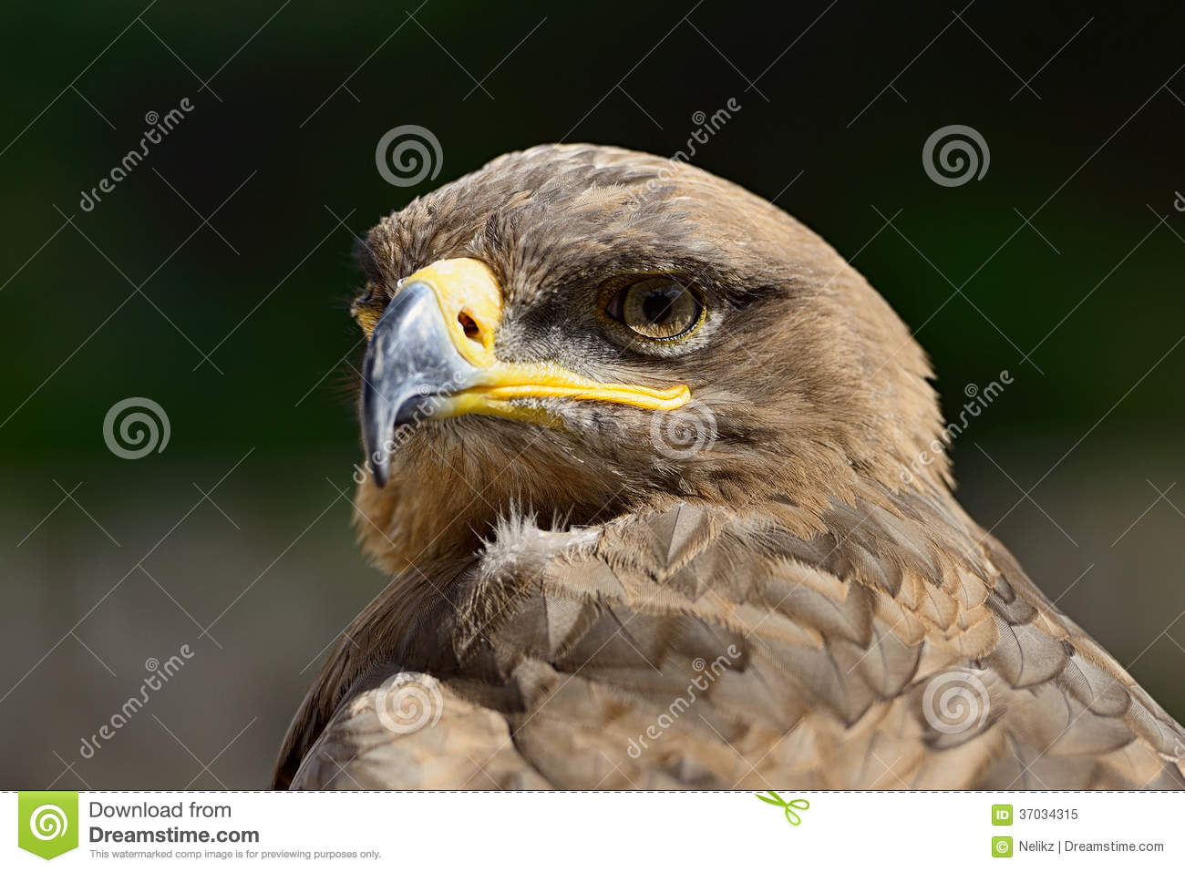 golden eagle single parents Although both parents care for  the single most important regulation affecting bald  they are still protected under the bald and golden eagle protection act.