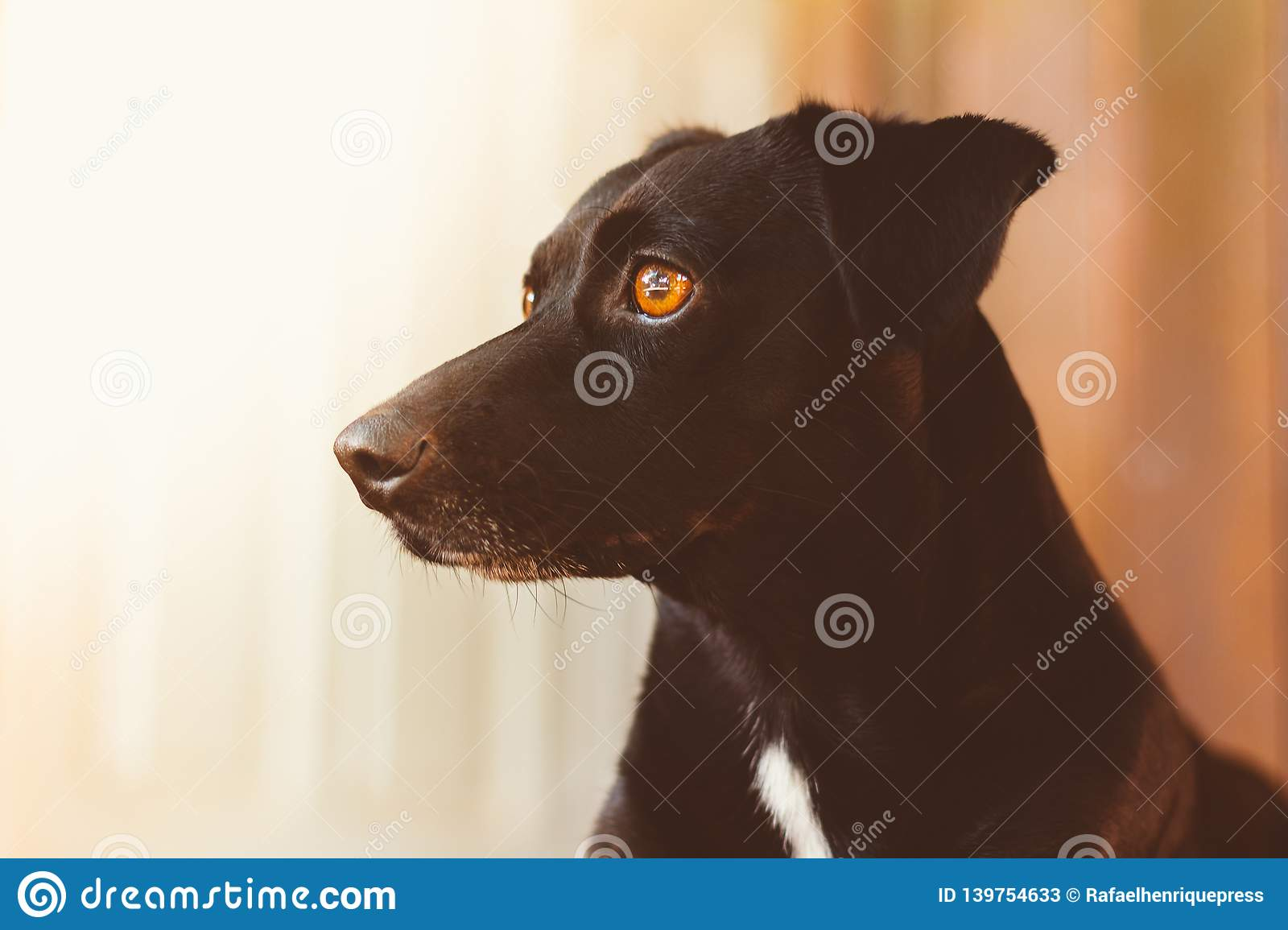 Portrait of a gorgeous and kind black dog. Profile picture. Stare and imposing. Concept of certainty, courage