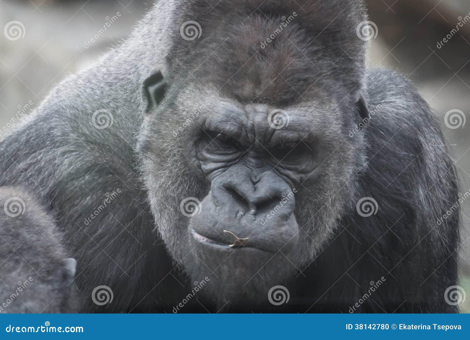 Portrait of gorilla